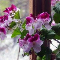 Радуют цветением :: Наталья (D.Nat@lia)