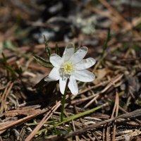 первый цветок :: сергей