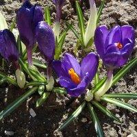 Цветут крокусы :: Натала ***