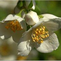 Цветы чубушника :: Вячеслав Минаев