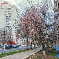 В Белгороде зацвёл абрикос :: Игорь Сарапулов