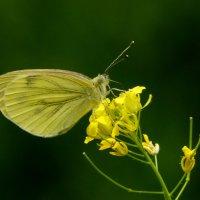и снова бабочки 67 :: Александр Прокудин