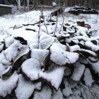 Бадан в снегу. :: Татьяна Иваненкова
