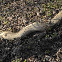 деревянная анаконда извивается.....фигуры...дерево...природа.. :: Михаил Жуковский