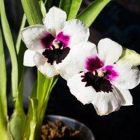 Цветение орхидеи мильтония :: Николай Зиновьев