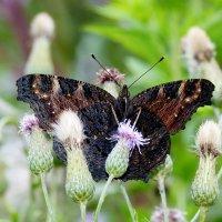 и снова бабочки 122 ( про павлиньи глаза) :: Александр Прокудин