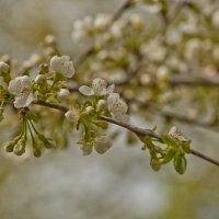 Пришла весна вся в белом цвету :: Ольга Винницкая (Olenka)