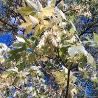Жёлто зелёная грустинка,на синем небе... :: Георгиевич