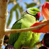 Попугай драра на Красной сэйбе :: Герович Лилия