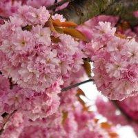 Сакура цветёт :: Людмила Торварт