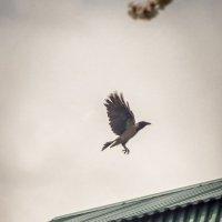 Ворона :: Анастасия Мойсук