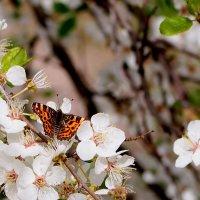 и снова бабочки 156 ( в цветении садов) :: Александр Прокудин