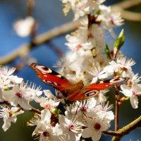и снова бабочки 174 :: Александр Прокудин