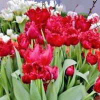 Удивительные тюльпаны с ресничками :: Елена (ЛенаРа)