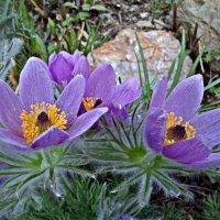 Как хороши весенние цветы :: Людмила Торварт