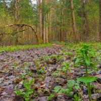 В Весеннем Лесу :: юрий поляков