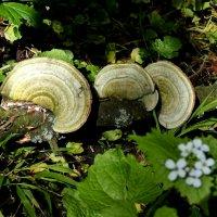 Трио грибов :: Heinz Thorns