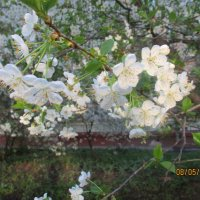 Яблони в цвету.. :: Зинаида