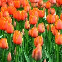 Тюльпаны. :: Татьяна Беляева