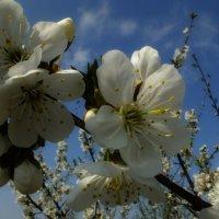Весна в моем саду :: Сергей Шаталов