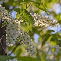 Цветы черемухи :: Алена Рябченко