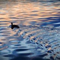 утка гуляет свободно без маски :: Георгий А