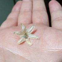 Красота цветка, выполнившего свое предназначение :: Алексей Кузьмичев