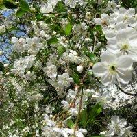 Весна. Май, Цветение :: Елена Павлова (Смолова)