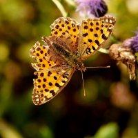 опять про бабочек....10 :: Александр Прокудин