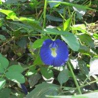 цветы Вьетнама :: Елена Шаламова