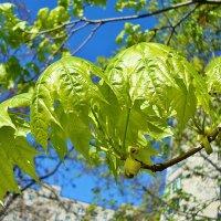 Кленовые листочки :: Лидия (naum.lidiya)