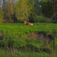 Пейзаж с Коровой :: юрий поляков