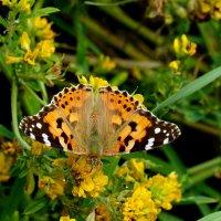 и опять про бабочек..11 :: Александр Прокудин
