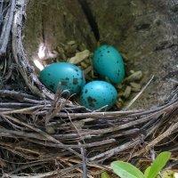 Гнездо певчего дрозда :: Nina Streapan