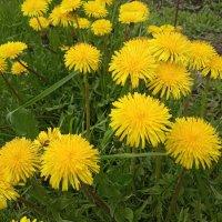 Одуванчиков цвет :: Kata Tonuk