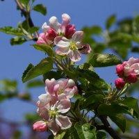 Будущие яблочки :: kolyeretka