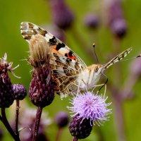 и опять про бабочек..45 :: Александр Прокудин