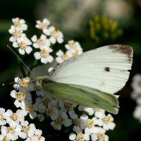 и опять про бабочек..47 :: Александр Прокудин