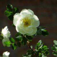 Белый шиповник ароматней розы! :: Татьяна Смоляниченко