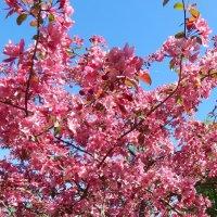 яблоня Недзвинского в цвету :: linnud