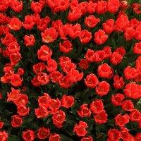 Тюльпаны... :: Юрий Моченов