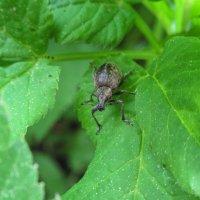 Усатый жук :: Ирина Майорова