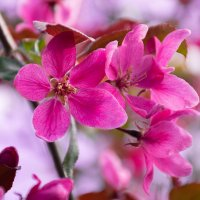 Райская яблоня цветёт :: Роман никандров