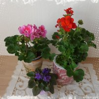 Комнатные цветы :: Nina Yudicheva