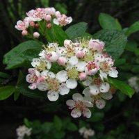 Арония цветёт :: sm-lydmila Смородинская