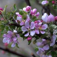 Яблони цвет :: Анатолий Святой
