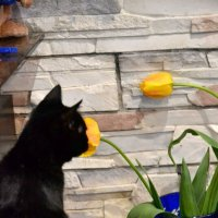Кошка Чара и жёлтые тюльпаны. :: Лариса