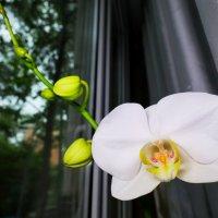 Орхидея спустя 3 года снова расцветает :: Роман Алексеев