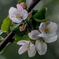 Яблоневый цвет :: Юлия Ершова