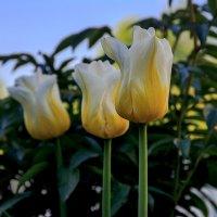 Тюльпаны :: Юлия Ершова